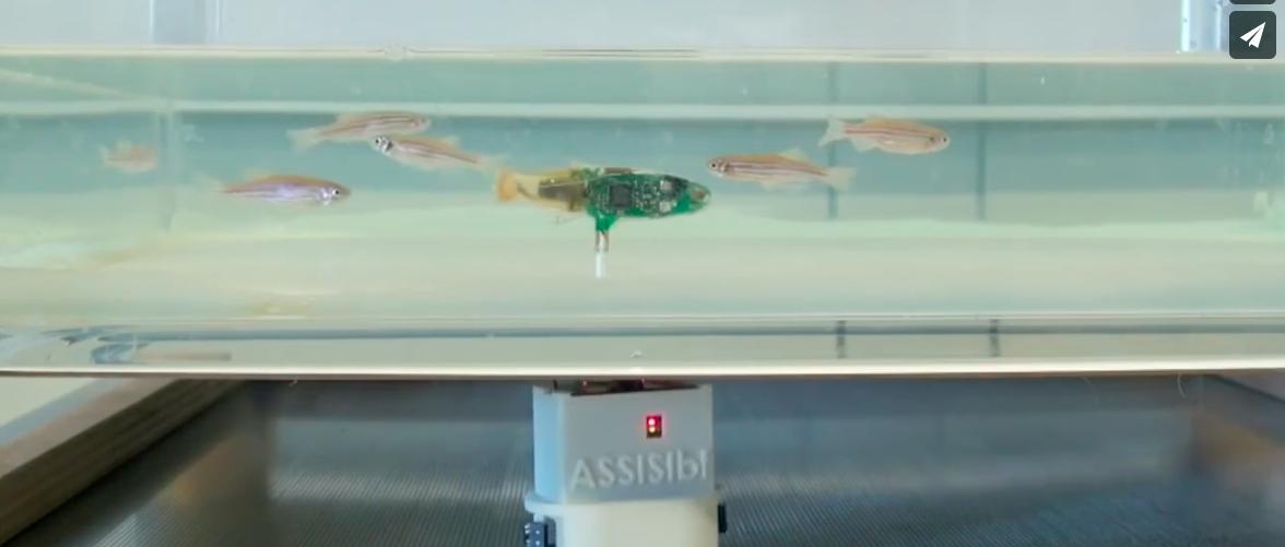 瑞士研发鱼形机器人可领导鱼群改变游动方向