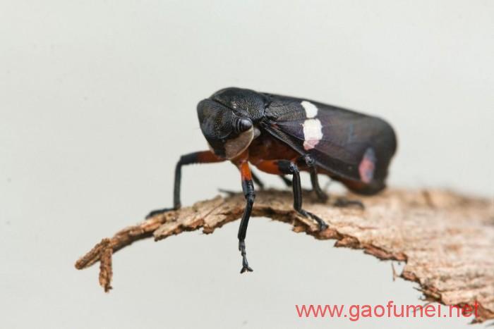 宾夕法尼亚州立大学研发出隐形材料灵感来源于叶蝉翅膀