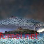 转基因三文鱼首次端上人类餐桌AquaBounty为此奋斗了27年